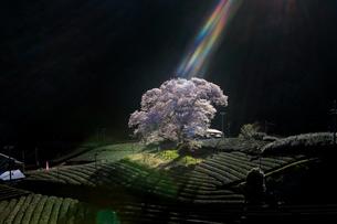 降り注ぐ光、そこにいるさくらの写真素材 [FYI04527527]