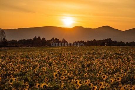 夕景のひまわり畑の写真素材 [FYI04527830]
