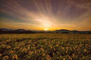 夕景とひまわり畑の写真素材 [FYI04527831]