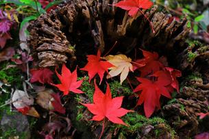 森の中の切り株に落ちた赤く紅葉したモミジの葉の写真素材 [FYI04528190]