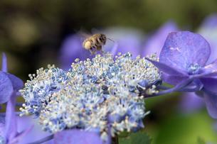 ハチと紫陽花の写真素材 [FYI04528323]