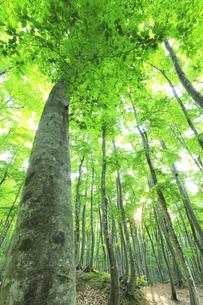 ブナの森に朝日の写真素材 [FYI04528383]