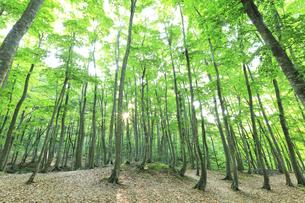 ブナの森に朝日の写真素材 [FYI04528385]