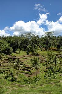 インドネシア バリ島 テガラランの棚田の写真素材 [FYI04528474]