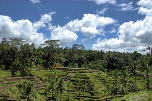 インドネシア バリ島 テガラランの棚田の写真素材 [FYI04528475]