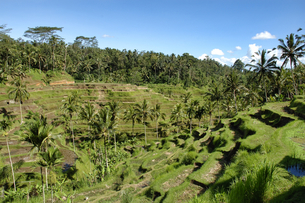 インドネシア バリ島 テガラランの棚田の写真素材 [FYI04528490]