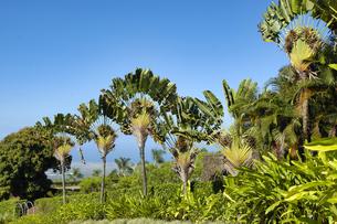 ハワイ州 ハワイ島 農園のヤシの木の写真素材 [FYI04528521]
