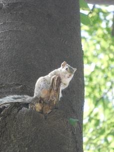 樹に止まるリスの写真素材 [FYI04528898]