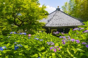 長谷寺の経堂とあじさいの写真素材 [FYI04528957]