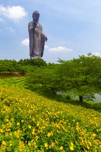 巨大な牛久大仏とキンシバイの花畑の写真素材 [FYI04529051]