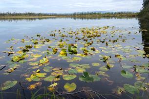 夏のアラスカ、湖に浮かぶスイレンの葉の写真素材 [FYI04529090]