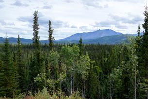アラスカの樹海の写真素材 [FYI04529091]