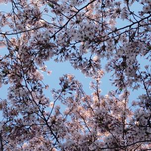 桜 スクエア 1の写真素材 [FYI04529215]