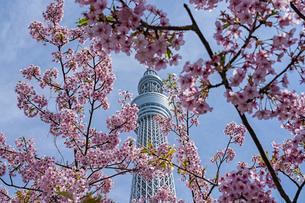 東京スカイツリーと河津桜の写真素材 [FYI04529230]