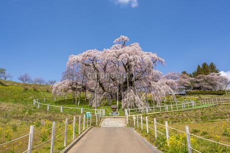 三春の滝桜の写真素材 [FYI04529268]