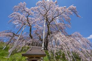 三春の滝桜の写真素材 [FYI04529269]