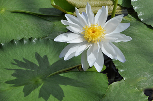 熱帯スイレンの白い花と、葉に写る花影の写真素材 [FYI04529302]