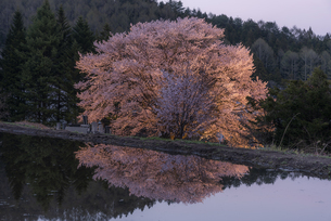 天王桜のライトアップの写真素材 [FYI04529365]