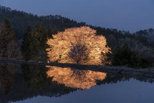 天王桜のライトアップの写真素材 [FYI04529367]