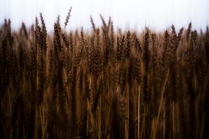 麦畑の写真素材 [FYI04529386]