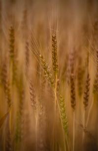 麦畑の写真素材 [FYI04529387]