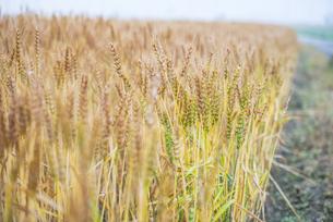 麦畑の写真素材 [FYI04529388]
