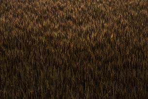 麦畑の写真素材 [FYI04529390]