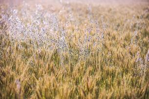 麦畑の写真素材 [FYI04529392]