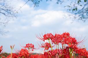 彼岸花と空の写真素材 [FYI04529407]
