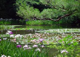 平安神宮 水面の睡蓮と花菖蒲の写真素材 [FYI04529511]