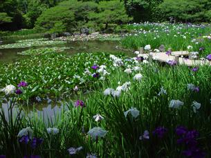平安神宮 神苑の花菖蒲の写真素材 [FYI04529513]