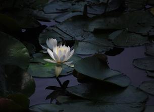 京都 勧修寺 池の睡蓮1の写真素材 [FYI04529515]