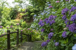 伊豆下田公園の紫陽花の写真素材 [FYI04529560]