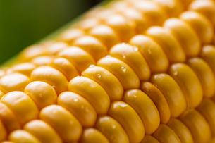 Closeup image of fresh yellow corn.の写真素材 [FYI04529566]