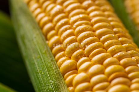 Closeup image of fresh yellow corn.の写真素材 [FYI04529567]
