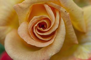 バラの花の写真素材 [FYI04529649]