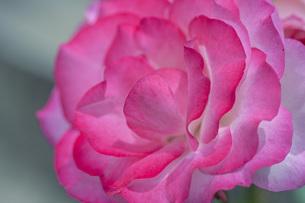 バラの花の写真素材 [FYI04529650]
