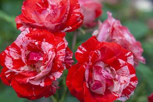 バラの花の写真素材 [FYI04529662]