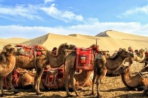中国 甘粛省 敦煌 シルクロード 莫高窟 砂漠 ラクダの写真素材 [FYI04529679]