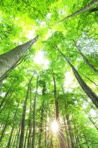 ブナの森に朝日の写真素材 [FYI04529928]