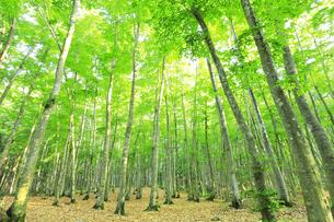 ブナの森の写真素材 [FYI04529932]