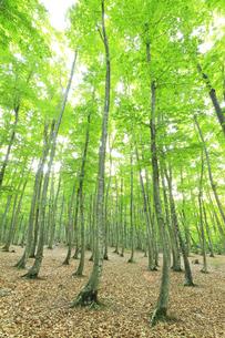 ブナの森の写真素材 [FYI04529933]