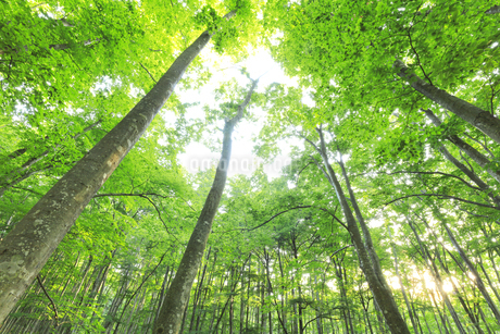 ブナの森に朝日の写真素材 [FYI04529934]