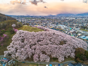 弘法山古墳の桜の写真素材 [FYI04530004]