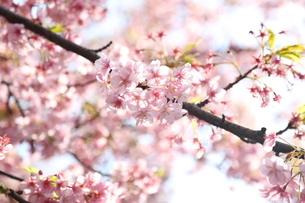 桜の写真素材 [FYI04530106]