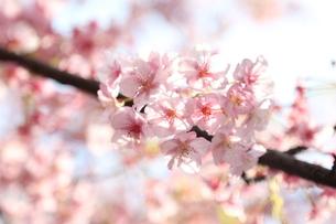 桜の写真素材 [FYI04530107]