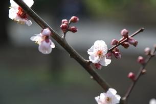 梅の花の写真素材 [FYI04530108]