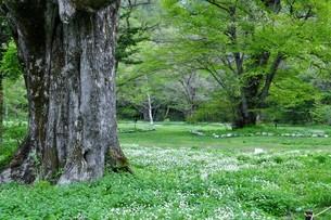 二輪草の咲く丘の写真素材 [FYI04530146]