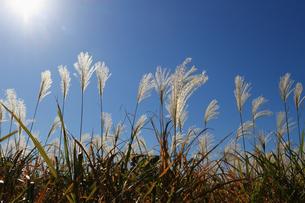 朝の日差しに輝く秋のススキの穂の写真素材 [FYI04530149]