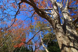 赤く紅葉した唐楓の大きな木の写真素材 [FYI04530155]